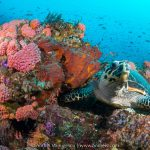 Coral and Turtle