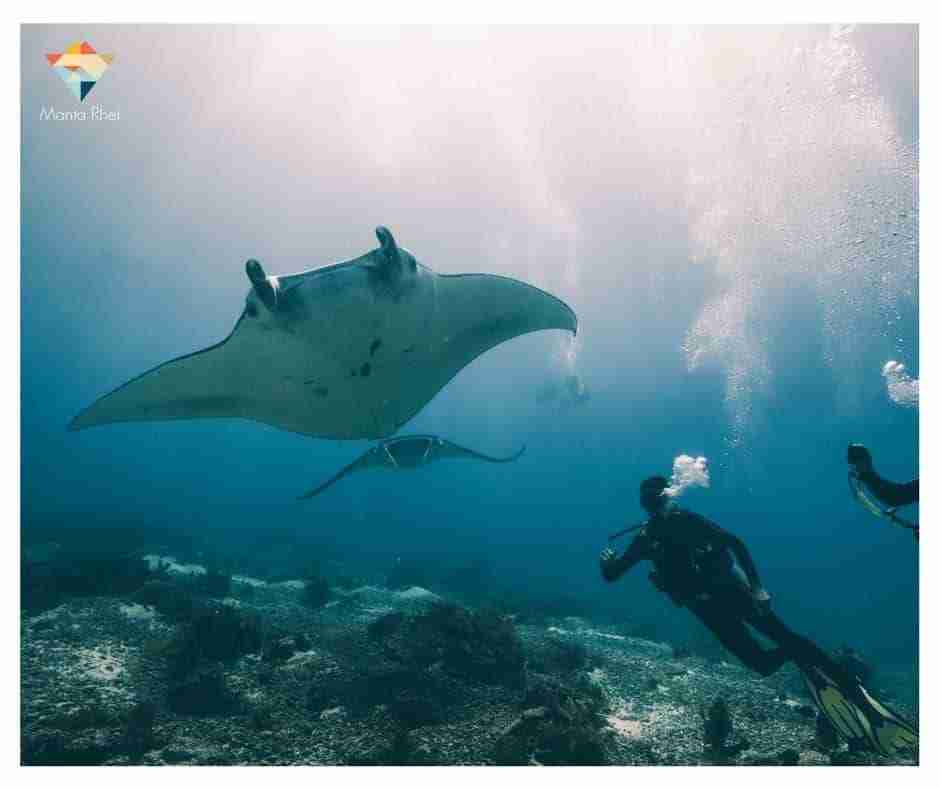 Divers with Manta