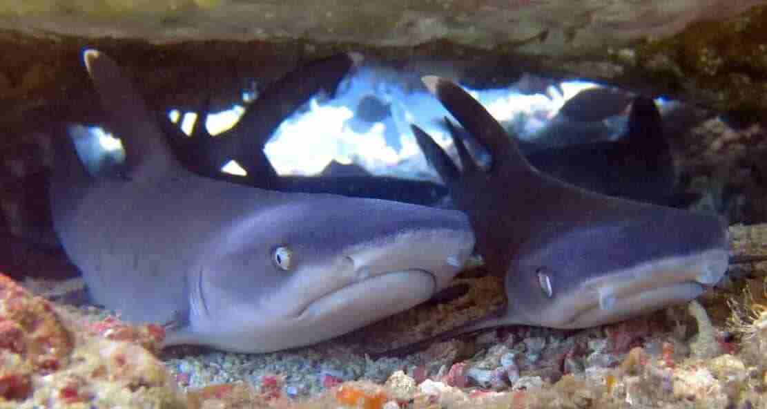 Baby Shark | Manta Rhei Dive Center Komodo