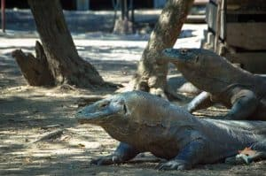 Are Komodo Dragons Dangerous? 1 20180529  DSC0116 1