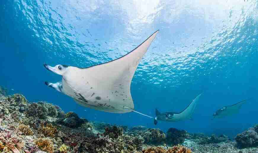 Manta Day  Day Trips Diving   Manta Rhei Dive Center