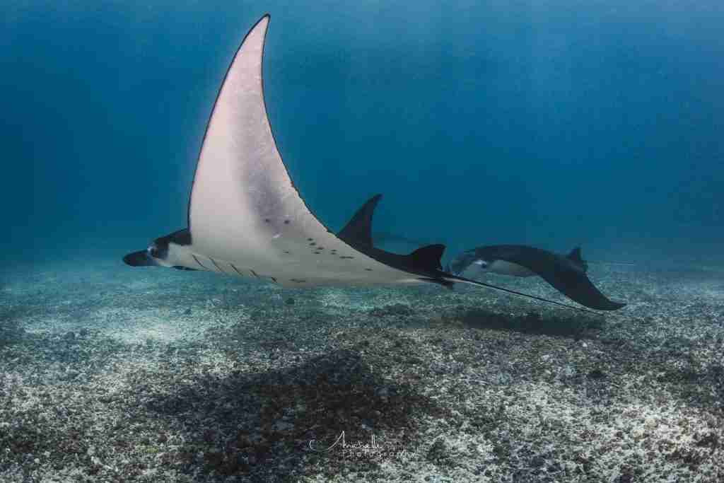 If you discover scuba diving in Komodo, you might encounter wonderful manta rays.