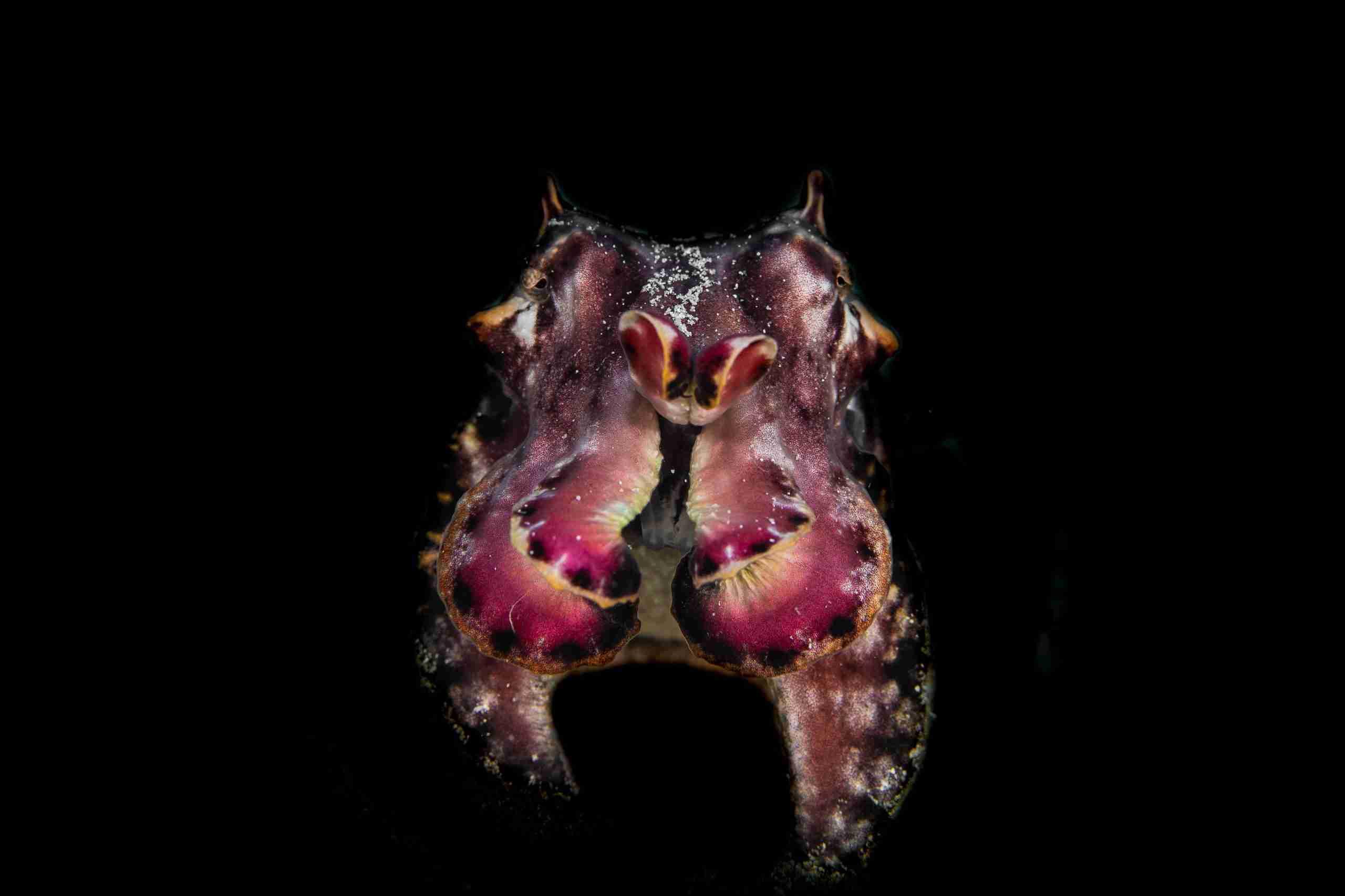 cuttlefish komodo