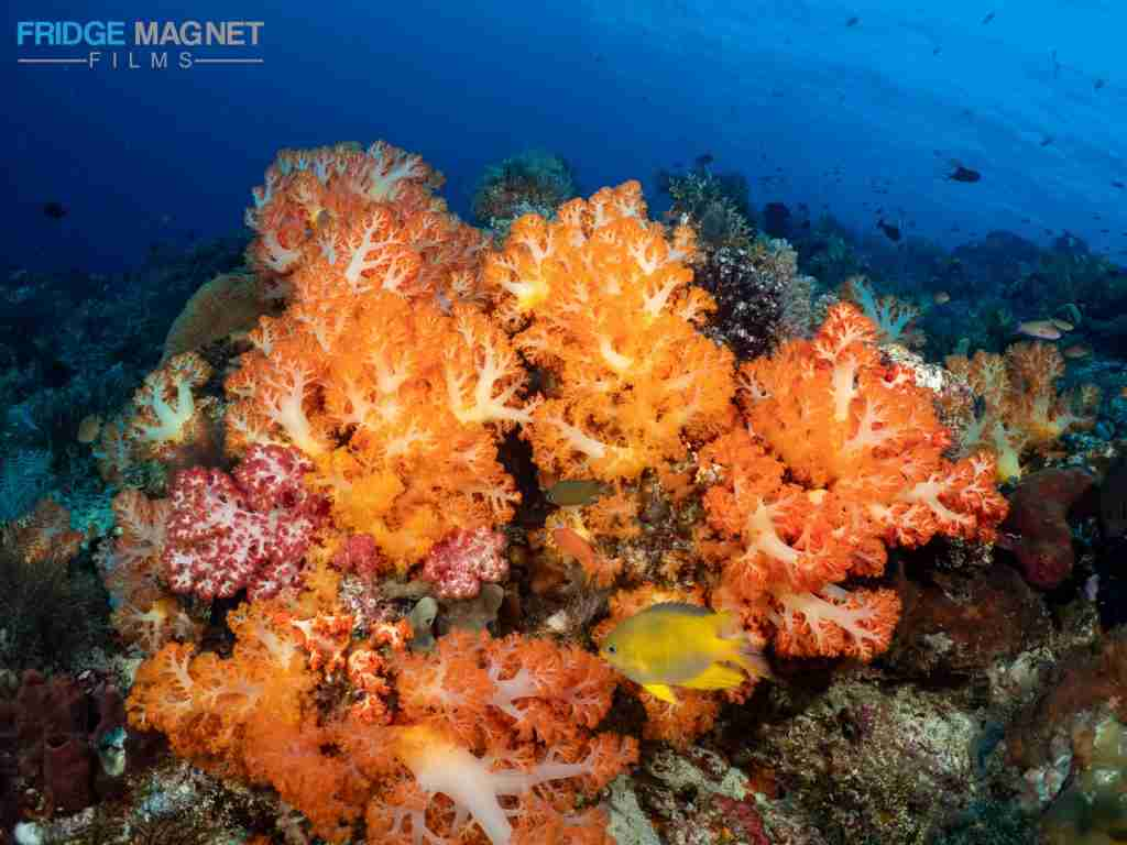 soft coral komodo