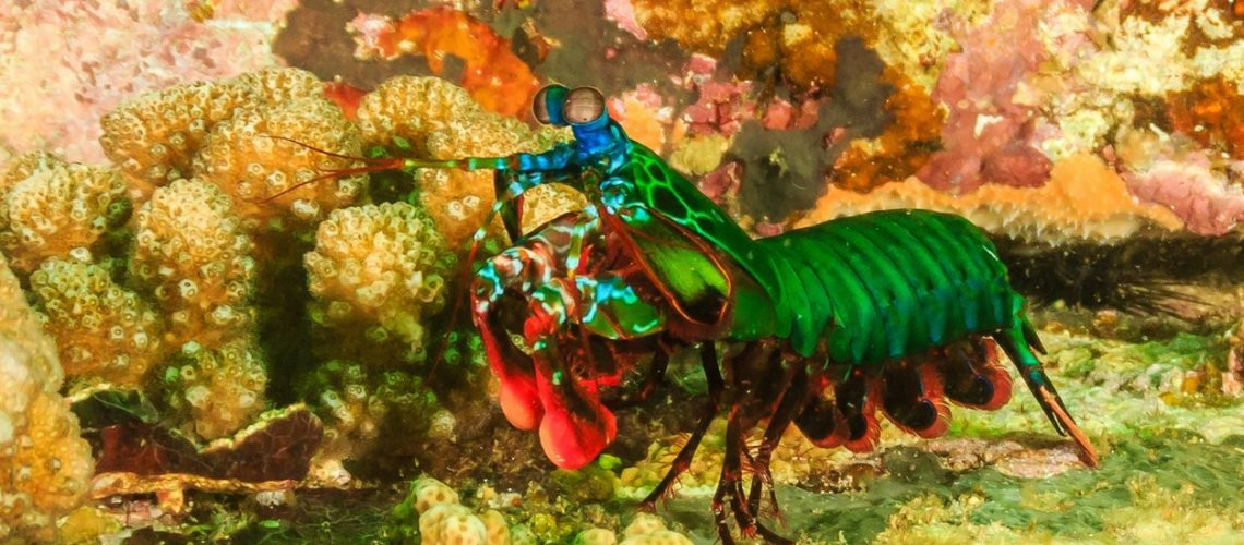Peacock Mantis Shrimp on a tropical coral reef during a plankton bloom